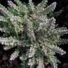 Calluna vulgaris  'Aberdeen'