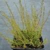 Calluna vulgaris  'Adrie'