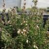 Calluna vulgaris  'Ahrensdorf'