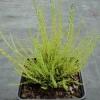 Calluna vulgaris  'Alba Elata'