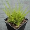 Calluna vulgaris  'Alba Multiflora'