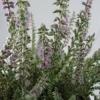 Calluna vulgaris  'Grizabella'
