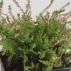 Calluna vulgaris  'Hillbrook Sparkler'