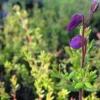 Daboecia cantabrica  'Barneveld's Glorie'