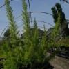Erica arborea  'Alberts Gold'