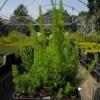 Erica arborea  'Spring Smile'